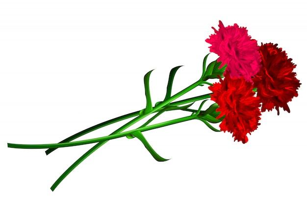 Odizolowywający Goździka Czerwony Kwiat Premium Wektorów