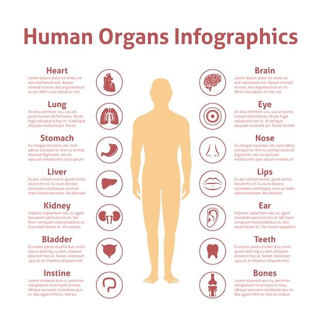 Organy Ludzkie Ikony Z Mężczyzną Rysunek Infografiki Zestaw Ilustracji Wektorowych Darmowych Wektorów