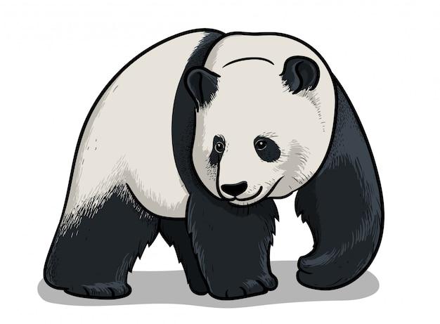 Panda, Edukacyjna Ilustracja Zoologii, Obraz Do Kolorowania. Premium Wektorów