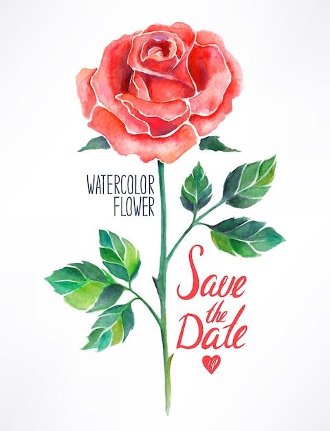 Piękna Czerwona Róża Akwarela. Ręcznie Rysowane Ilustracji Premium Wektorów