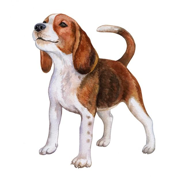 Pies beagle. akwarela Premium Wektorów
