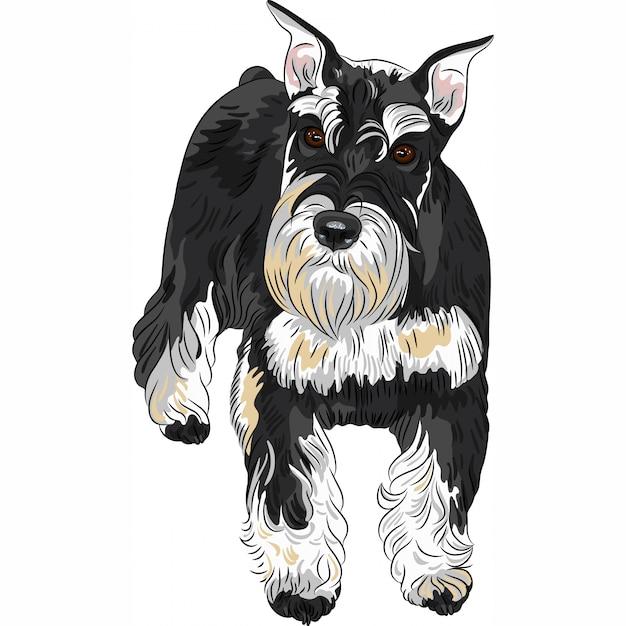 Pies Rasy Sznaucer Miniaturowy W Kolorze Czarno-srebrnym Premium Wektorów