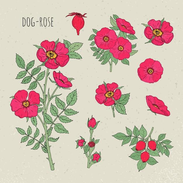 Pies Róży Medyczna Botaniczna Odosobniona Ilustracja. Roślin, Kwiatów, Owoców, Liści, Ręcznie Rysowane Zestaw. Vintage Szkic Kolorowy. Premium Wektorów