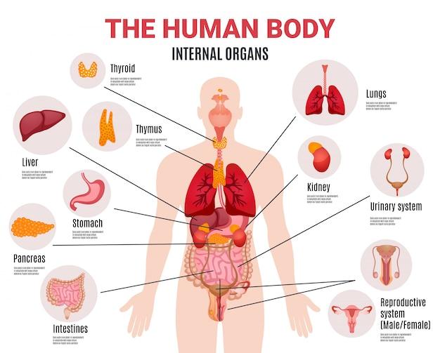 Plakat plansza ludzkich narządów wewnętrznych Darmowych Wektorów