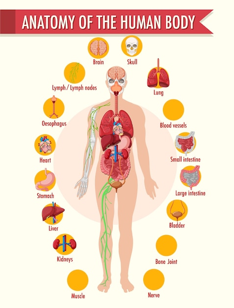 Plansza Informacyjna Anatomii Ludzkiego Ciała Darmowych Wektorów