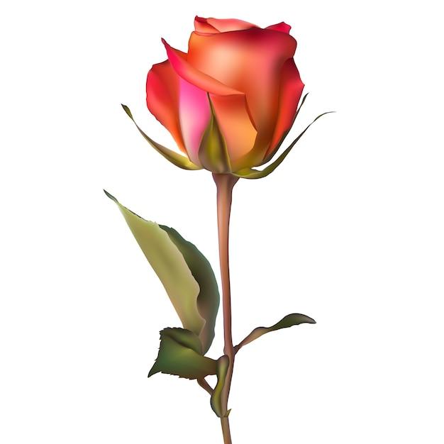 Pomarańczowa Czerwona Róża. Premium Wektorów
