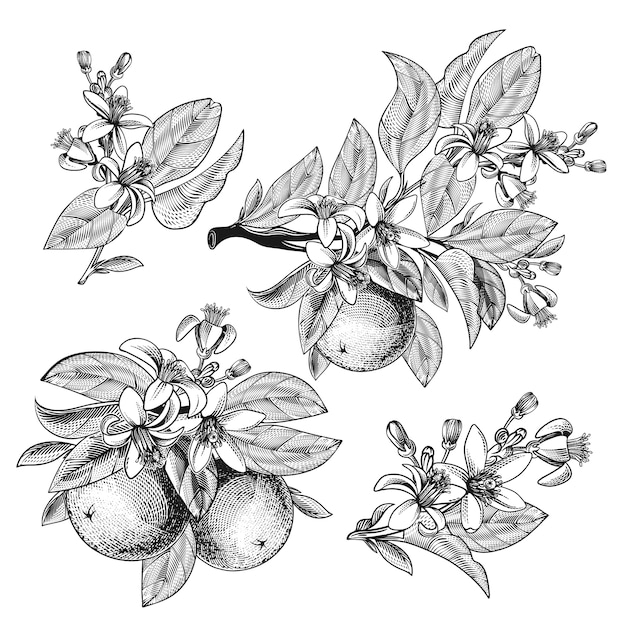 Pomarańczowy Owoc Z Gałęziami Liści Kwitnących W Stylu Grawerowania Darmowych Wektorów