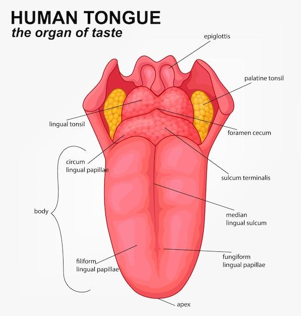 Realistyczna Struktura Języka Ludzkiego Premium Wektorów