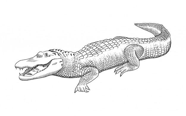 Ręcznie Rysowana Grafika Ołówkiem, Krokodyl, Aligator, Krokodyl. Grawerowanie, Styl Szablonu. Premium Wektorów