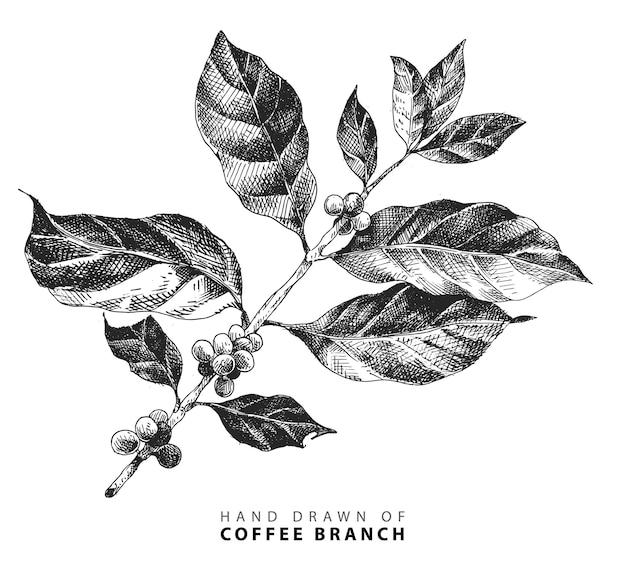 Ręcznie Rysowane Ilustracja Oddziału Kawy Z Owocami Fasoli W Stylu Vintage Premium Wektorów