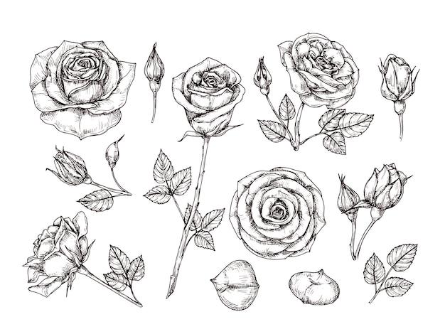 Ręcznie Rysowane Róż. Szkicuj Kwiaty Róży Cierniami I Liśćmi. Czarno-biały Wzór Akwaforta Botaniczny Na Białym Tle Zestaw Premium Wektorów