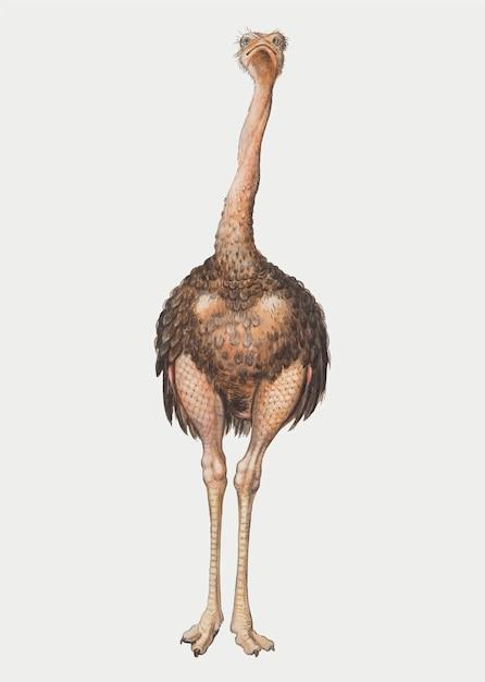 Rocznik pełnej długości struś ilustraci wektor Darmowych Wektorów