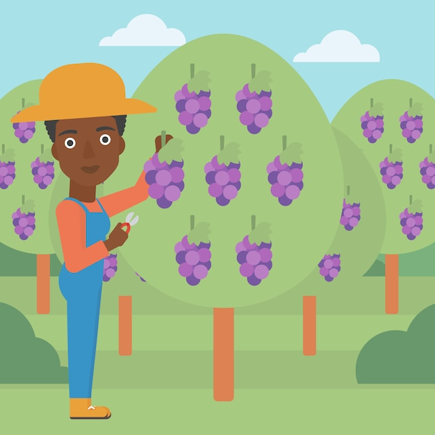 Rolnik Zbierający Winogrona Premium Wektorów