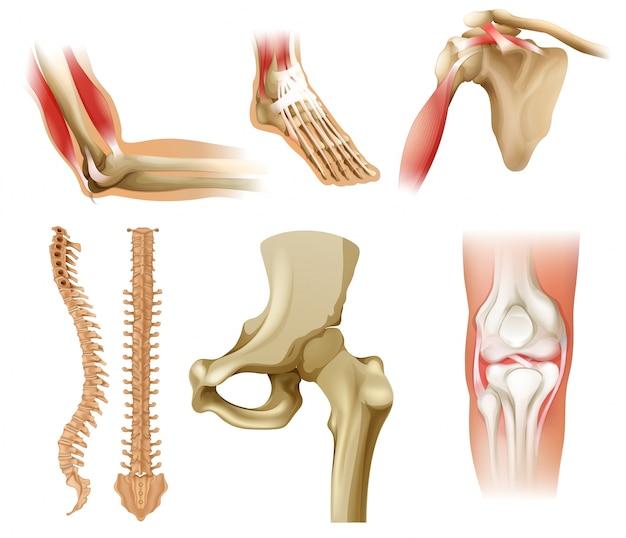 Różne kości ludzkie Premium Wektorów