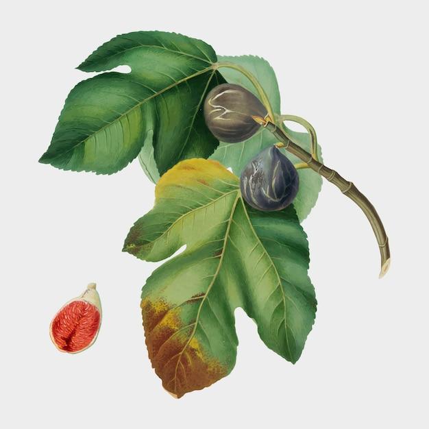 Rys. z ilustracji pomona italiana Darmowych Wektorów