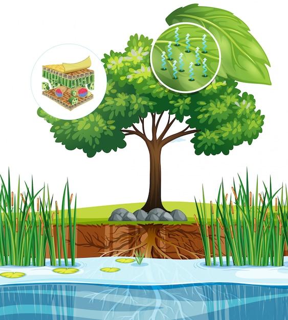 Schemat Przedstawiający Bliska Komórkę Roślinną Z Drzewa Darmowych Wektorów