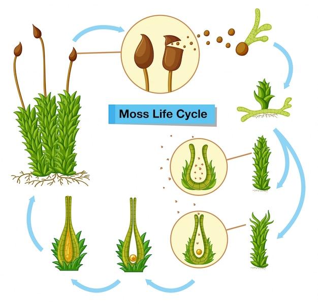 Schemat Przedstawiający Cykl życia Mchu Darmowych Wektorów
