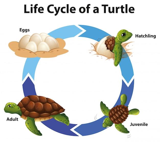 Schemat przedstawiający cykl życia żółwia morskiego Darmowych Wektorów