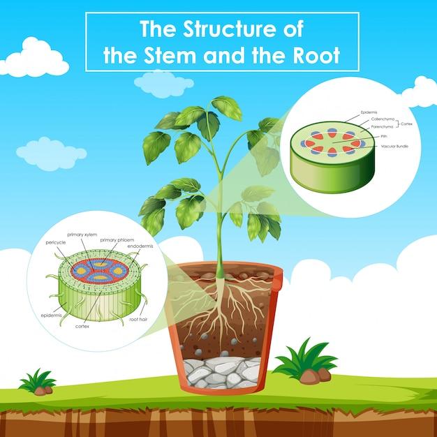 Schemat przedstawiający strukturę łodygi i korzenia Darmowych Wektorów
