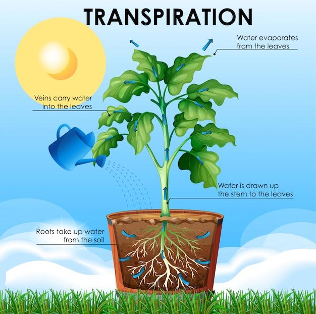 Schemat przedstawiający transpirację z rośliną i wodą Darmowych Wektorów