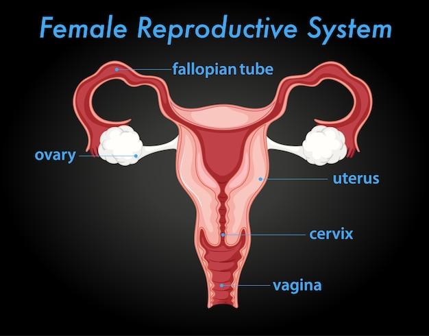 Schemat żeńskiego Układu Rozrodczego Darmowych Wektorów