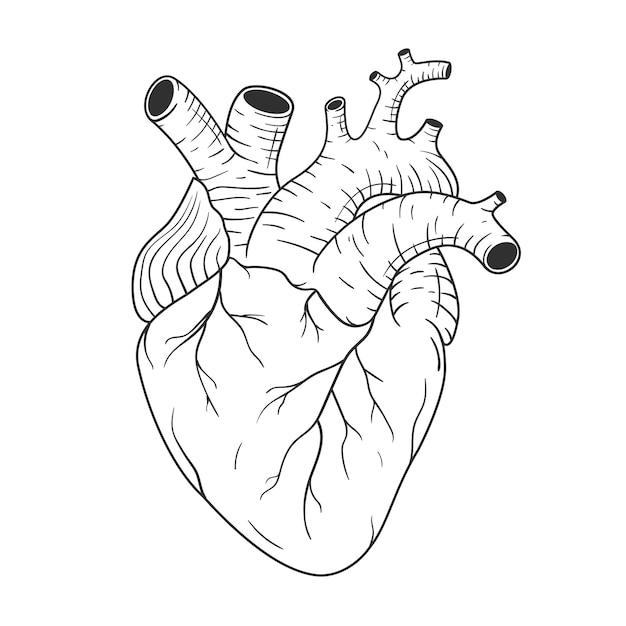 Serce Człowieka Anatomicznie Poprawne Ręcznie Rysowane Grafiki Liniowej. Szkic Wektor Czarno-biały Premium Wektorów