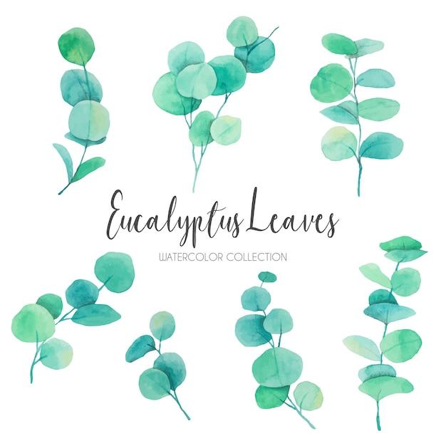 Śliczne akwarela eucalyptus liście Darmowych Wektorów