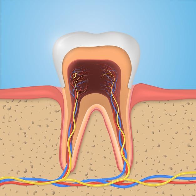 Struktura Zęba. Premium Wektorów