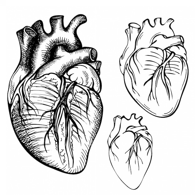Szkic Atrament Ludzkiego Serca. Grawerowane Anatomiczne Serce Ilustracja Premium Wektorów