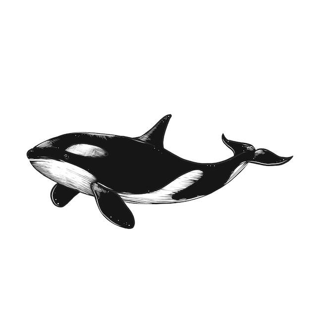 Szkic na białym tle grawerowanie ilustracja wieloryba Premium Wektorów