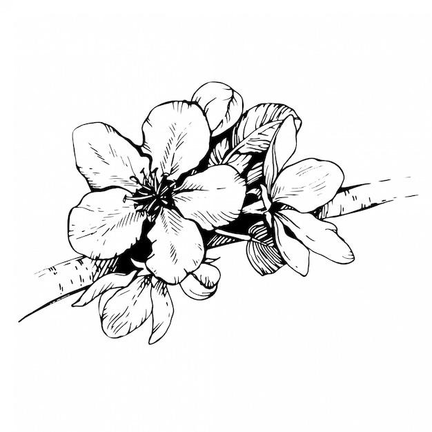 Szkic Ręcznie Rysowane Kwiat Jabłoni. Kwitnąca Wiśnia. Sakura Gałąź Z Pąkami Kwiatowymi. Premium Wektorów