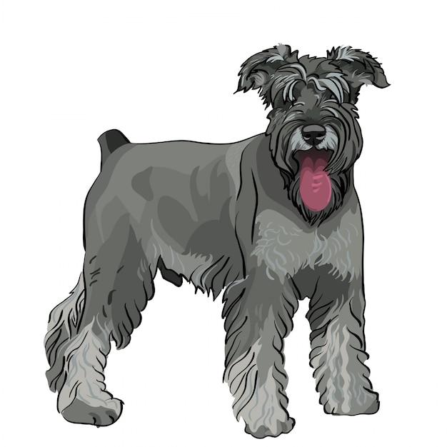 Sznaucer Miniaturowy Pies Z Wysuniętym Językiem Premium Wektorów