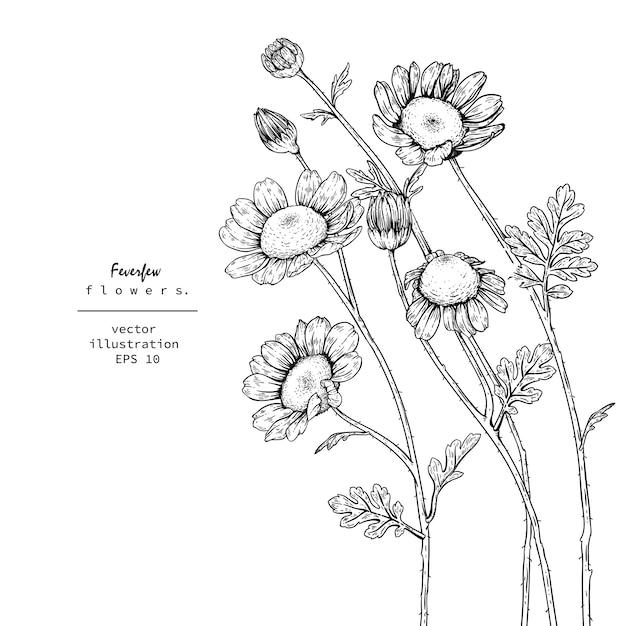 Tanacetum Feverfew Kwiatowe Rysunki. Premium Wektorów