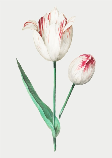 Tulipan W Stylu Vintage Darmowych Wektorów