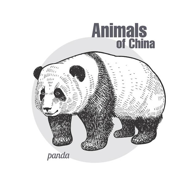 Vintage grawerowanie pandy zwierząt. Premium Wektorów