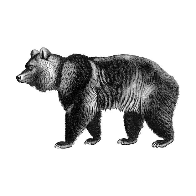 Vintage ilustracje niedźwiedzia brunatnego Darmowych Wektorów