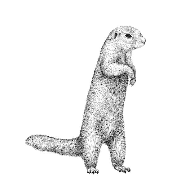 Wiewiórka Afrykańska Rysunek W Stylu Szkic Ilustracji Pięknego Czarno-białego Zwierząt. Premium Wektorów