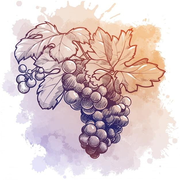 Winogrona Grono Z Liśćmi. Rysunek Liniowy Na Tle Akwareli Teksturowanej Premium Wektorów