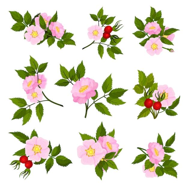 Zbiór Obrazów Różowych Kwiatów Dzikiej Róży. Premium Wektorów