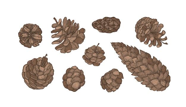 Zbiór Szyszek Zimozielonych Drzew Iglastych - Sosna, świerk, Modrzew Premium Wektorów