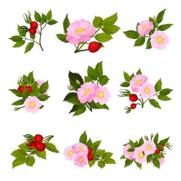Zbiór Zdjęć Czerwonych Owoców I Różowych Kwiatów Dzikiej Róży. Premium Wektorów
