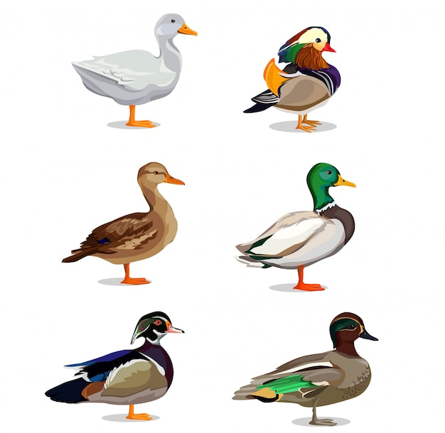 Zestaw ilustracji kaczka. Premium Wektorów