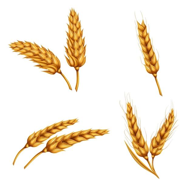 Zestaw ilustracji wektorowych pszenicy spikelets, ziarna, koła pszenicy samodzielnie na białym tle. Darmowych Wektorów