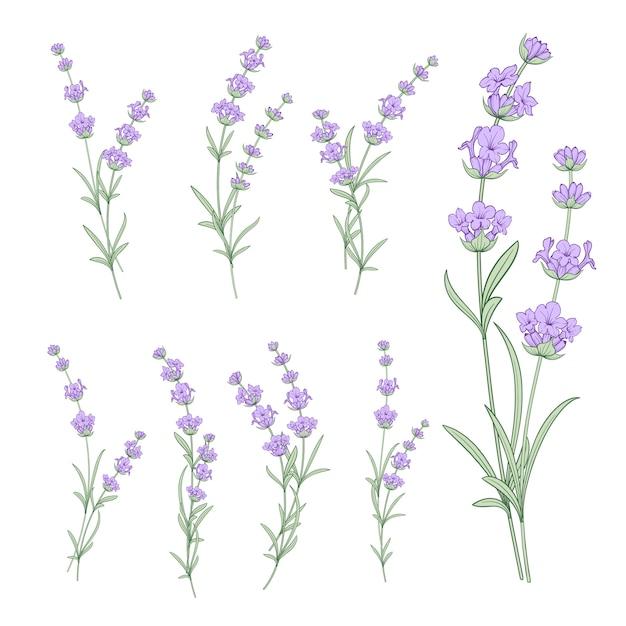 Zestaw Kwiatów Lawendy Premium Wektorów