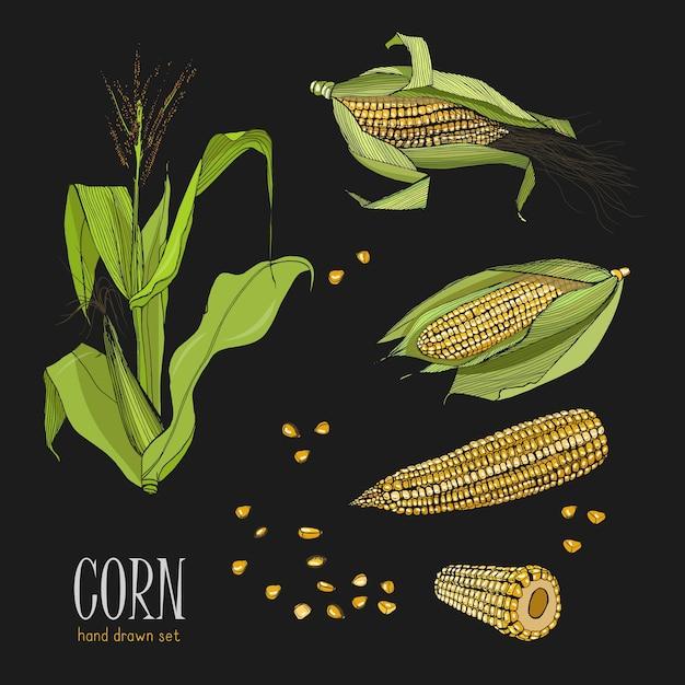 Zestaw Roślin Kukurydzy. Kolorowe Ręcznie Rysowane Kolekcji Kukurydzy Premium Wektorów