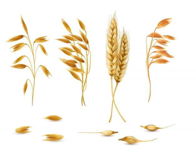 Zestaw roślin zbożowych, kłosków owsa, kłosy jęczmienia, pszenicy lub żyta z ziarna izolowane Darmowych Wektorów