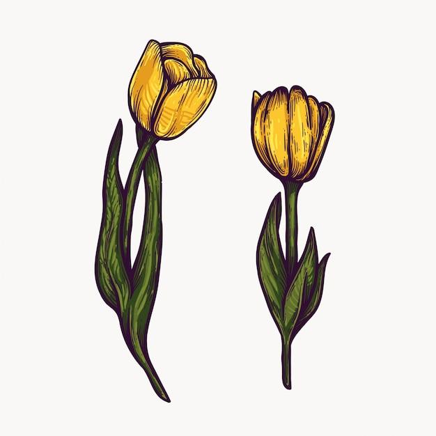 Żółte Kwiaty Tulipanów Ręcznie Rysowane Na Białym Tle Kolorowe I Zarys Clipart. Premium Wektorów