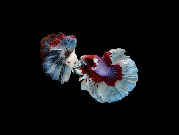 2 Czerwony, Biały I Niebieski Bojownik Syjamski Lub Fantazyjna Ryba Betta Splendens Ogon Pełni Księżyca Na Czarnym Tle Odizolowane, Wdzięczny Ruch. Premium Zdjęcia