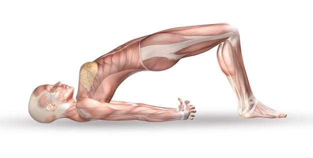 3d kobiece rysunek medyczny z mapą mięśni w pozycji jogi Darmowe Zdjęcia
