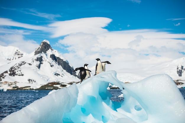 Adelie Penguin Premium Zdjęcia